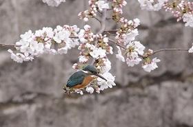 カワセミ飛翔01.jpg