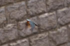 カワセミ飛翔04.jpg