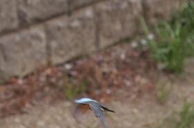 カワセミ飛翔05.jpg